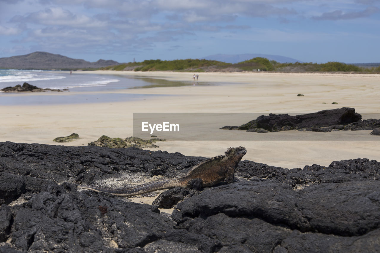 water, beach, land, sea, scenics - nature, nature, rock, solid, beauty in nature, tranquility, day, sky, tranquil scene, rock - object, non-urban scene, no people, animal wildlife, animal, animal themes, outdoors, iguana, driftwood, marine