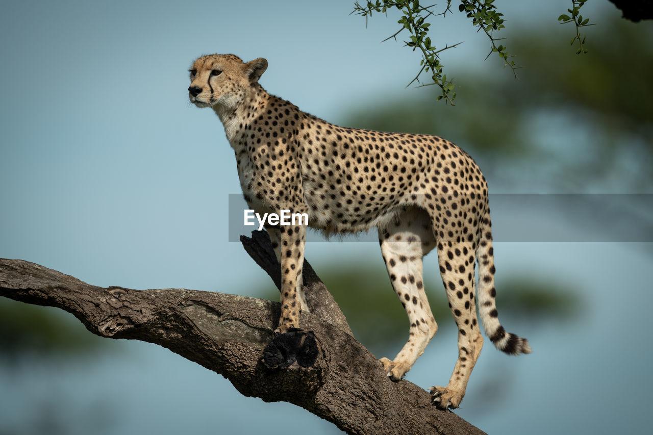 Cheetah standing on tree branch