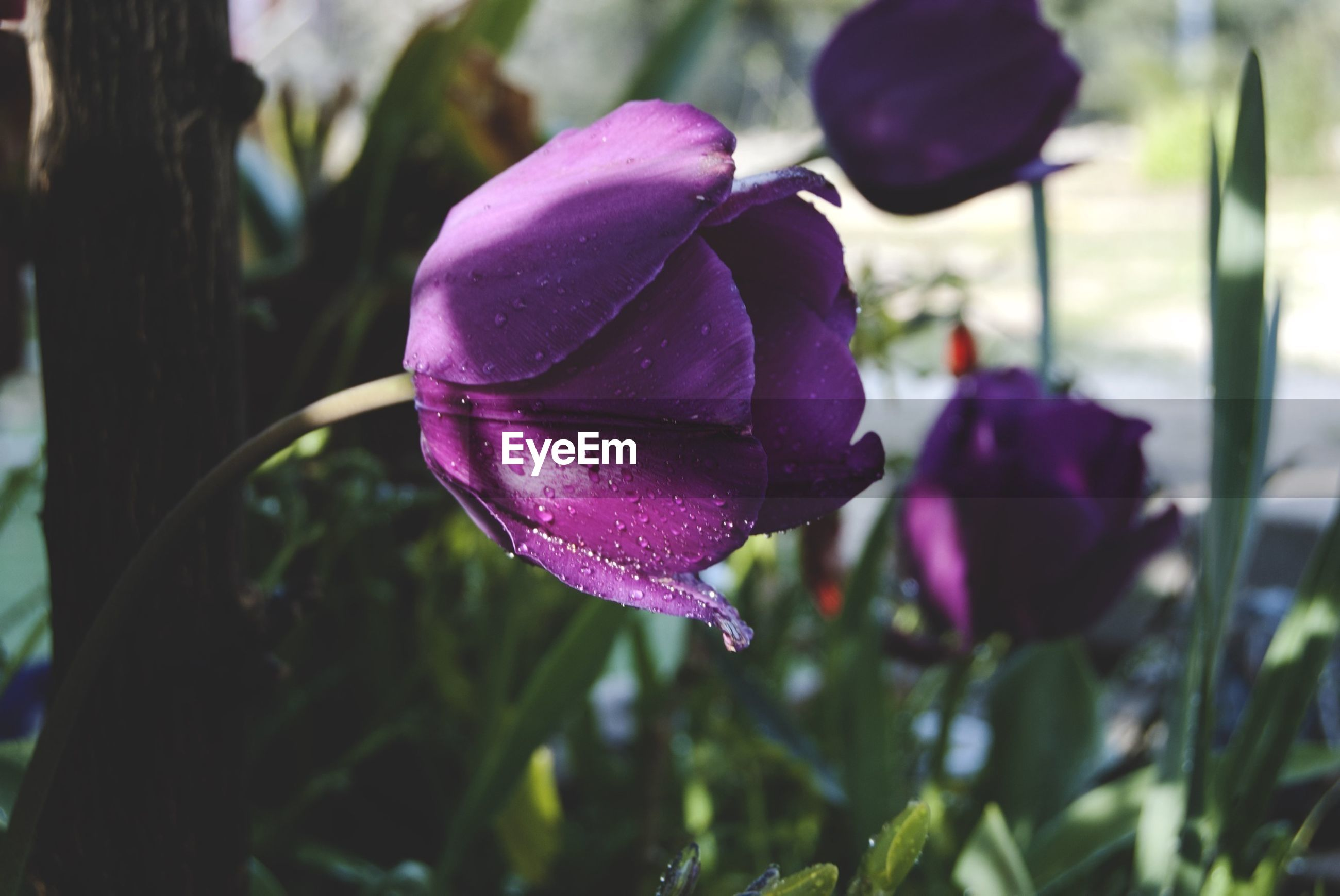flower, petal, freshness, flower head, fragility, close-up, growth, beauty in nature, focus on foreground, purple, blooming, plant, single flower, nature, rose - flower, pink color, in bloom, drop, wet, outdoors