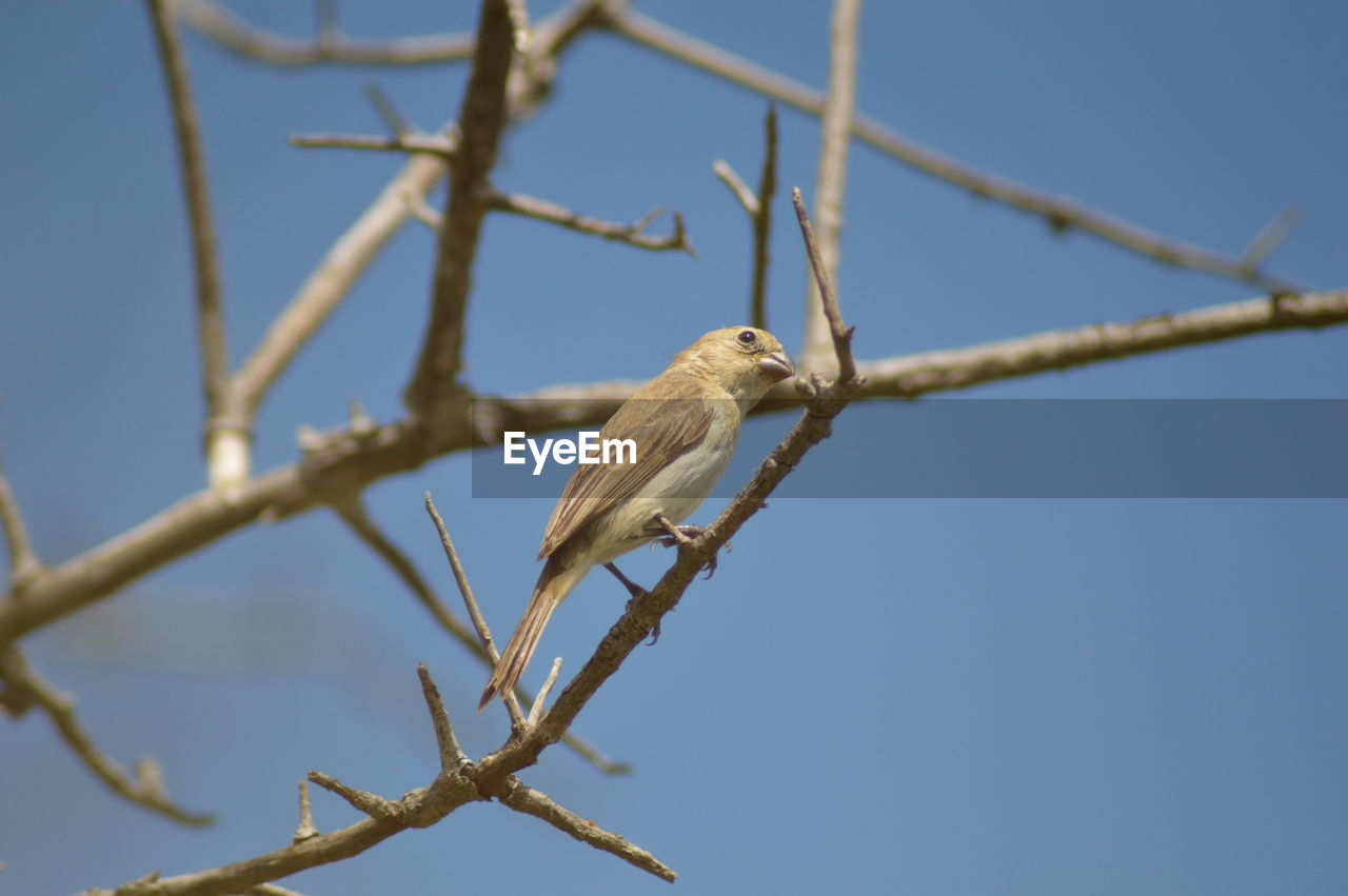 animal themes, animal, animal wildlife, one animal, vertebrate, bird, animals in the wild, low angle view, perching, tree, branch, plant, sky, no people, nature, clear sky, day, blue, outdoors, selective focus