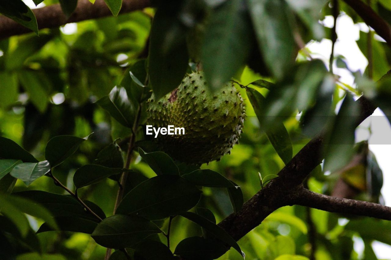 plant, growth, leaf, tree, plant part, green color, fruit, nature, no people, close-up, healthy eating, day, food and drink, food, freshness, focus on foreground, branch, selective focus, outdoors, beauty in nature, ripe