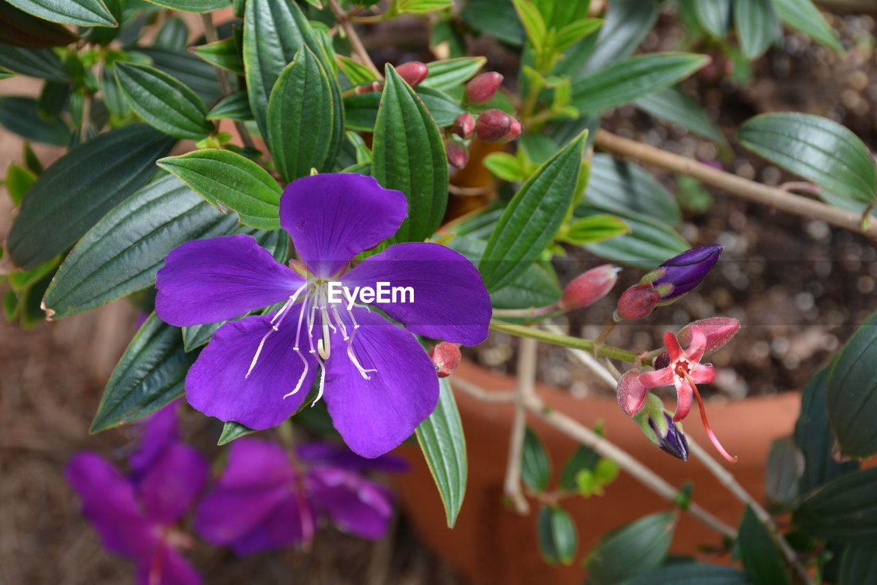 flower, growth, leaf, fragility, plant, petal, beauty in nature, nature, freshness, flower head, outdoors, day, green color, blooming, no people, close-up, periwinkle