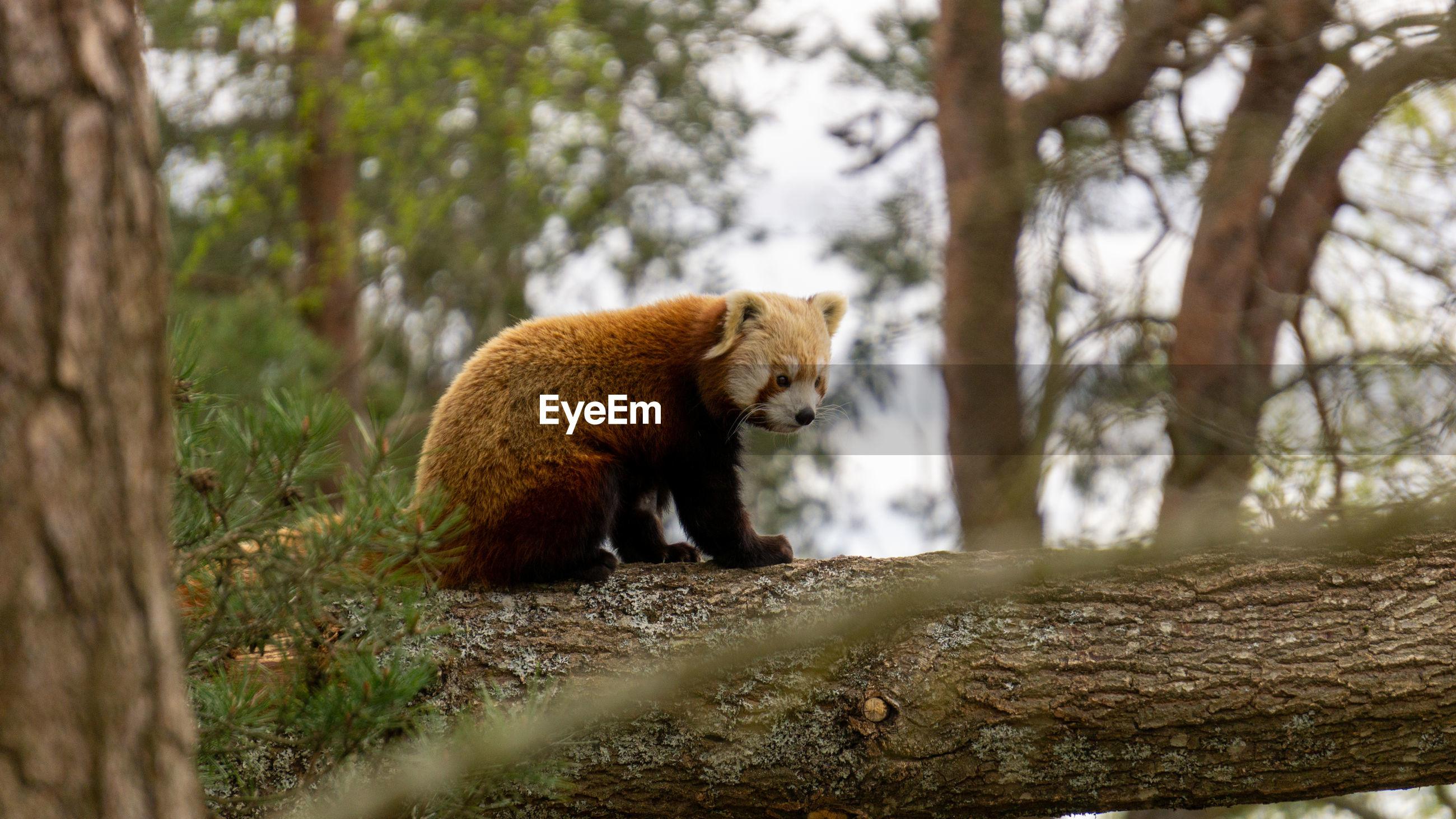 Red panda in atree