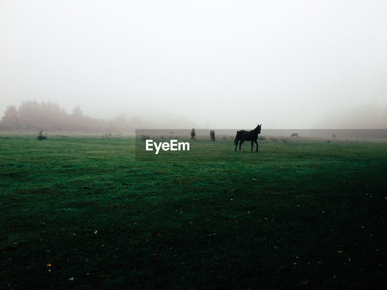Scenic view of horses on grassy field in foggy weather