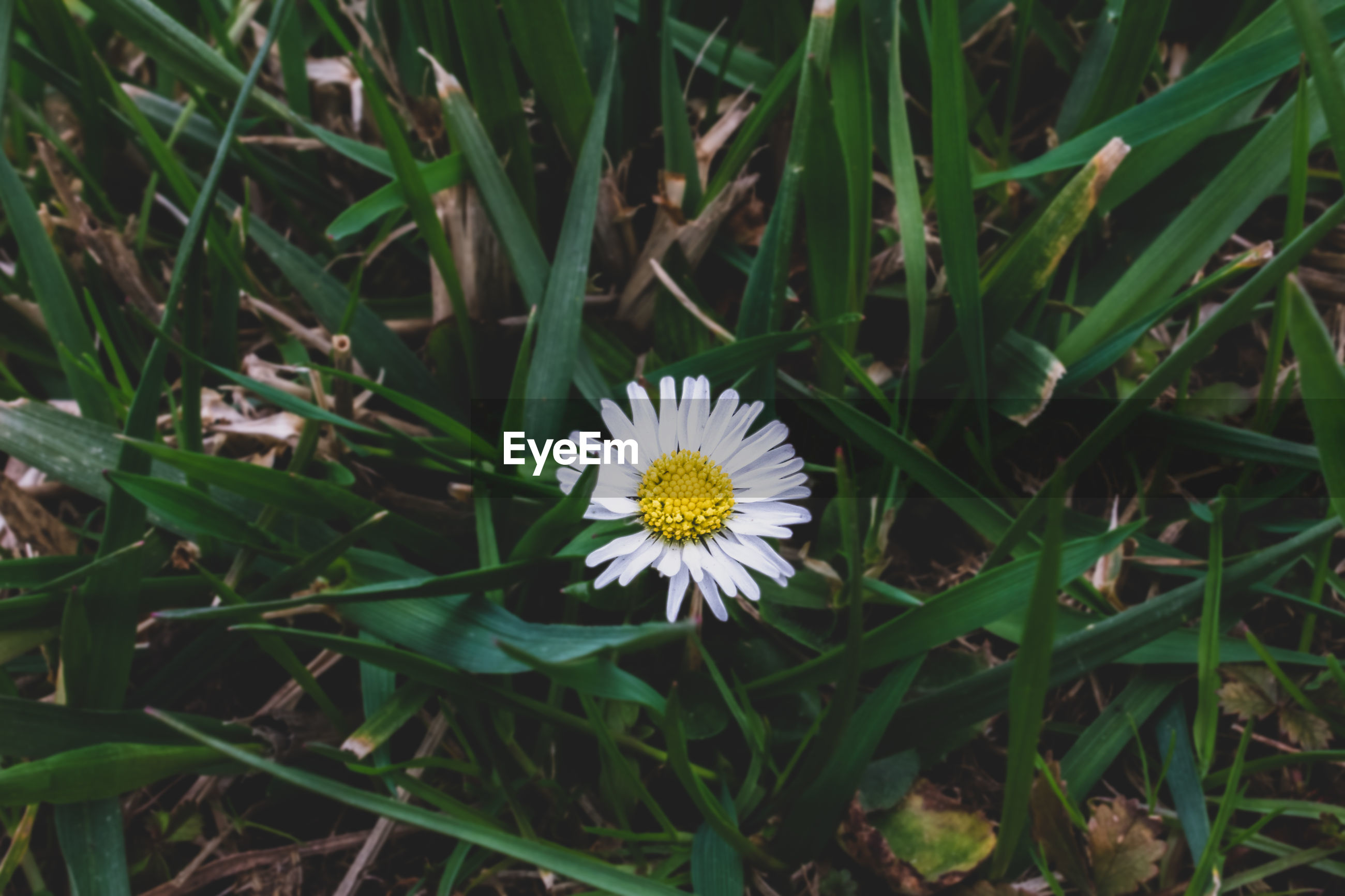 plant, flowering plant, flower, fragility, growth, vulnerability, freshness, beauty in nature, flower head, inflorescence, petal, nature, close-up, field, land, yellow, day, white color, high angle view, outdoors, pollen, gazania