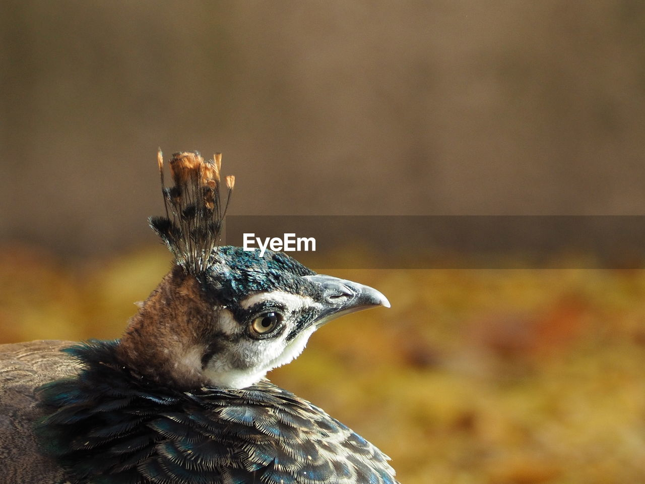 Close-Up Of Peahen At Zoo