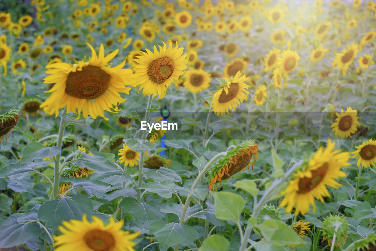 Sunflowers booming in garden with green leave background in sunny day