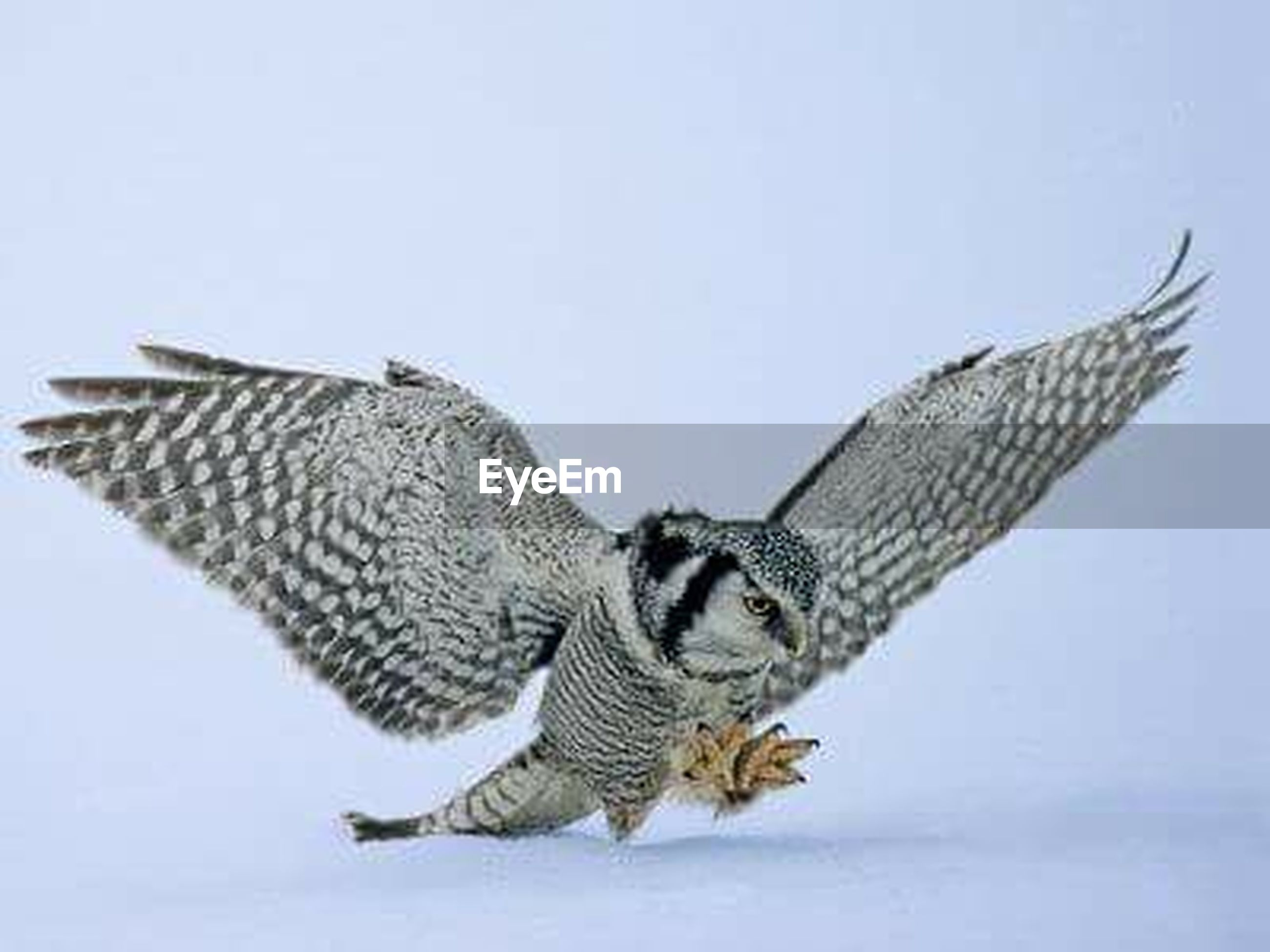 animal themes, animals in the wild, wildlife, bird, one animal, spread wings, clear sky, flying, low angle view, copy space, animal wing, bird of prey, perching, day, no people, two animals, outdoors, zoology, nature, animal markings