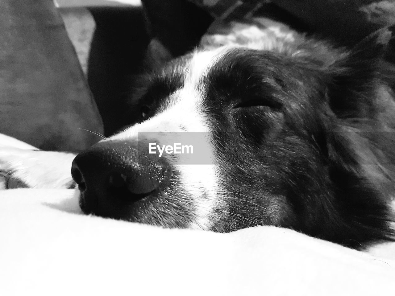 dog, pets, domestic animals, one animal, animal themes, mammal, animal head, close-up, no people, indoors, relaxation, day, nature
