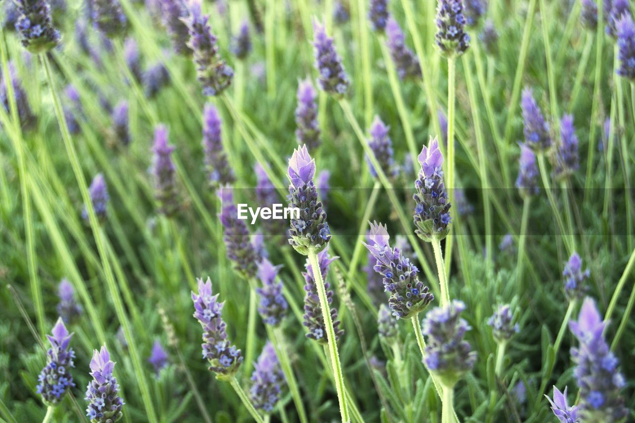 growth, nature, plant, flower, fragility, beauty in nature, field, no people, purple, day, freshness, outdoors, grass, green color, blooming, close-up, flower head
