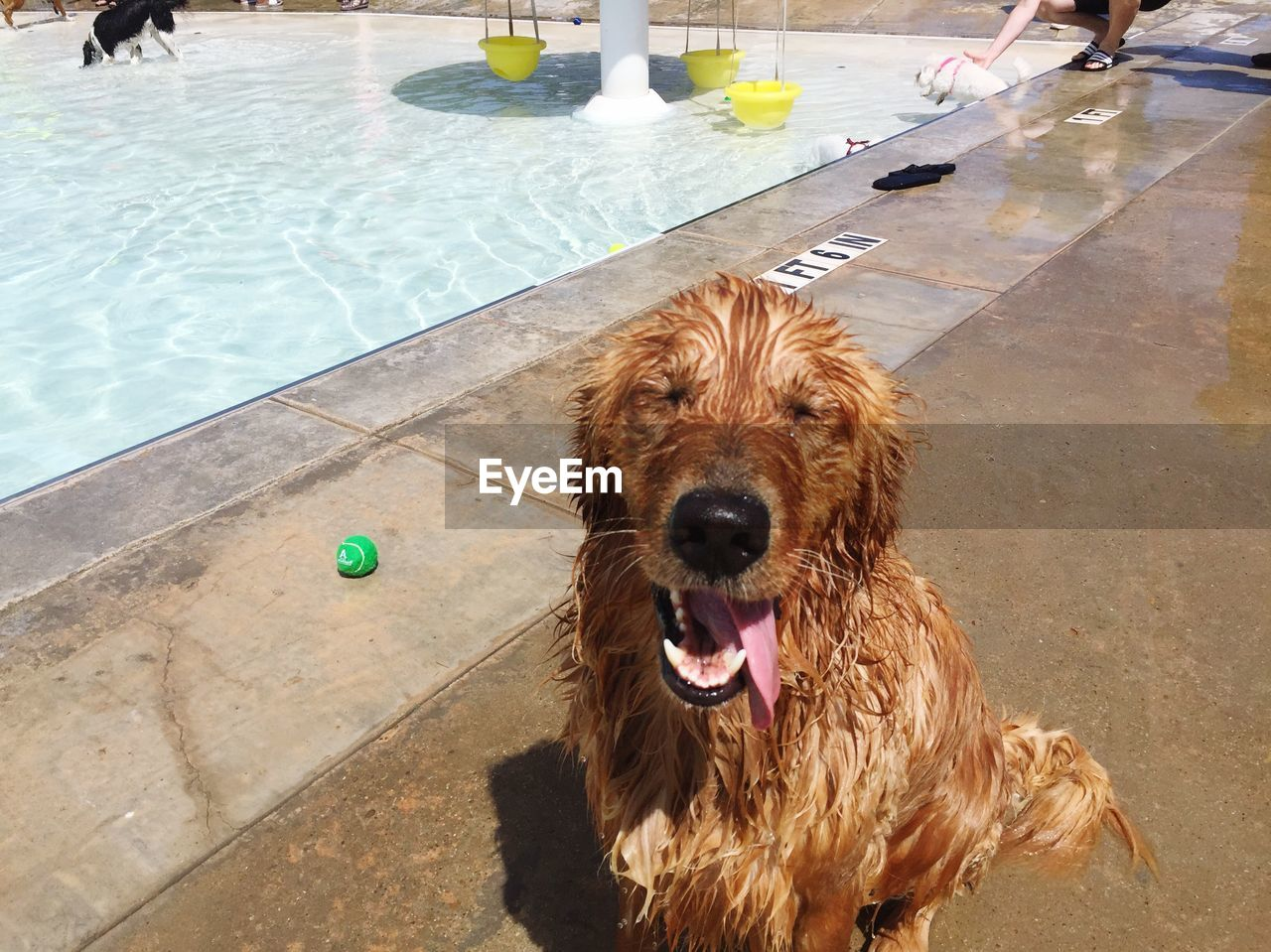 canine, dog, one animal, vertebrate, animal themes, water, pets, domestic, mammal, animal, domestic animals, swimming pool, pool, day, high angle view, portrait, wet, looking at camera, nature, mouth open, animal head
