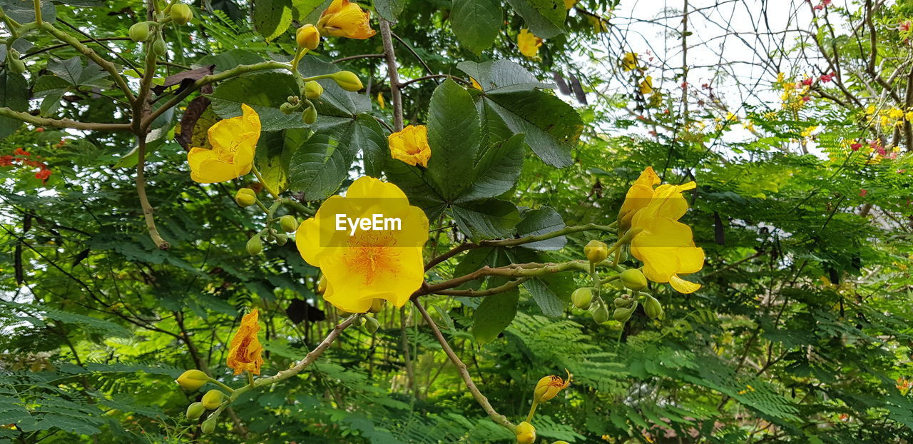 yellow, growth, flower, tree, leaf, nature, freshness, petal, beauty in nature, outdoors, day, fragility, plant, green color, no people, low angle view, branch, flower head, blooming, close-up