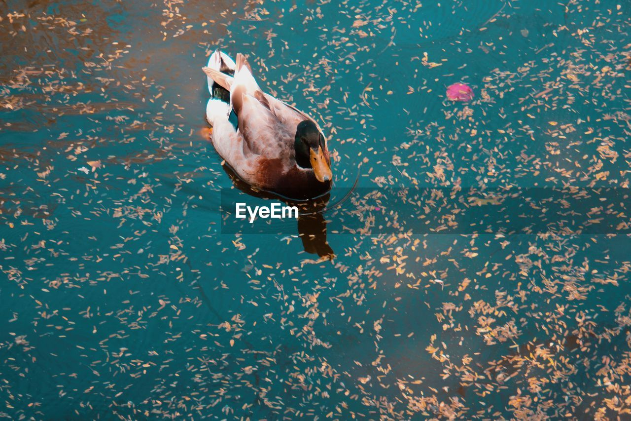 animal themes, animal, bird, animals in the wild, animal wildlife, one animal, vertebrate, water, nature, swimming, lake, duck, no people, poultry, day, waterfront, high angle view, water bird, reflection, floating on water
