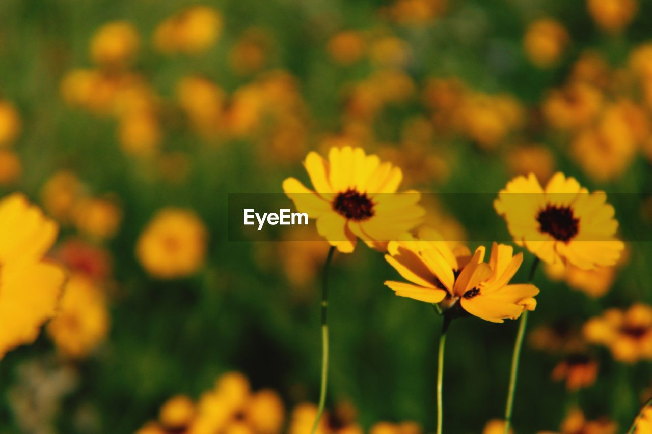 flowering plant, flower, freshness, fragility, vulnerability, plant, beauty in nature, growth, yellow, close-up, petal, flower head, inflorescence, focus on foreground, field, nature, no people, selective focus, day, land, outdoors