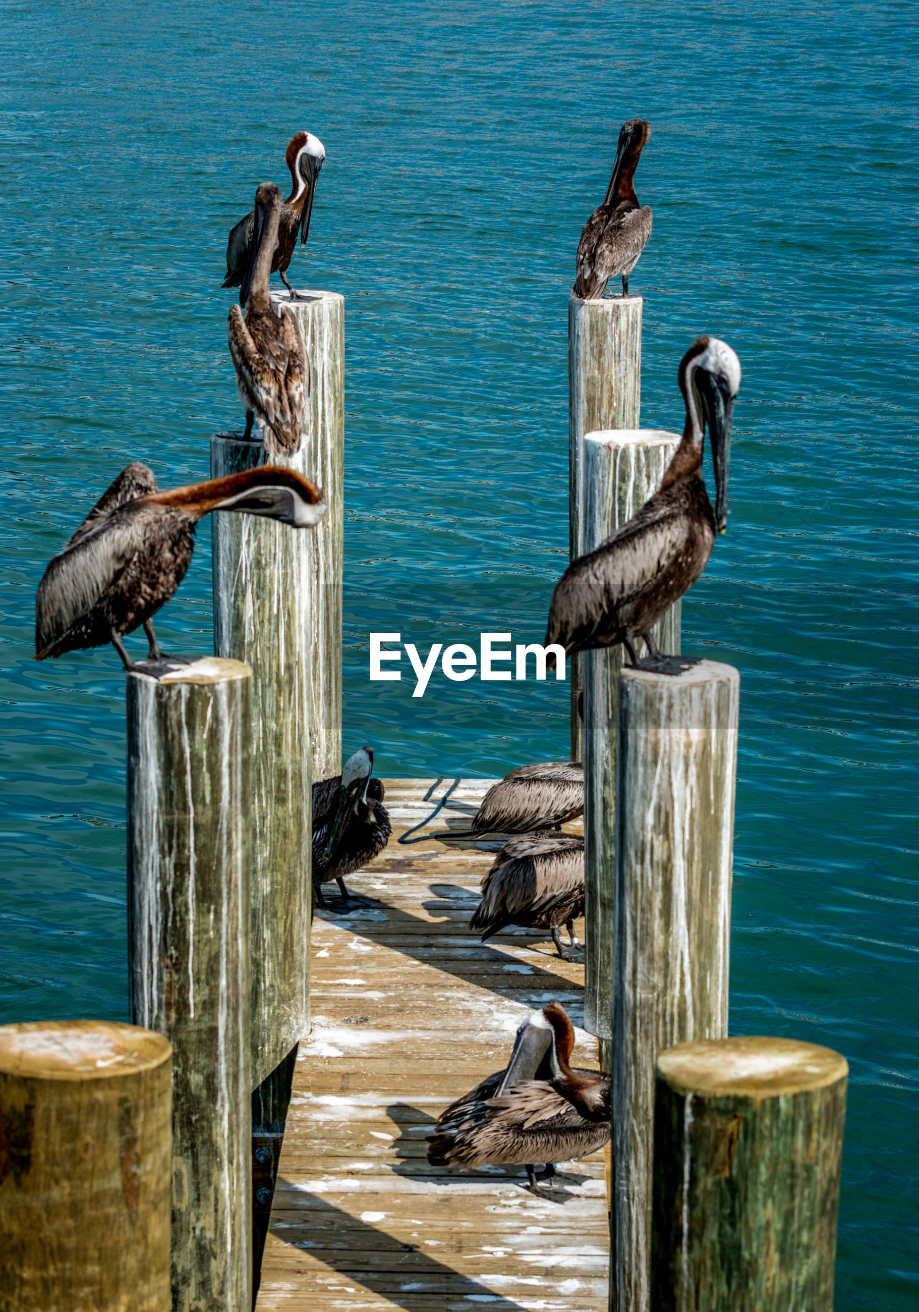 Pelicans perching on wooden post attached to pier over sea