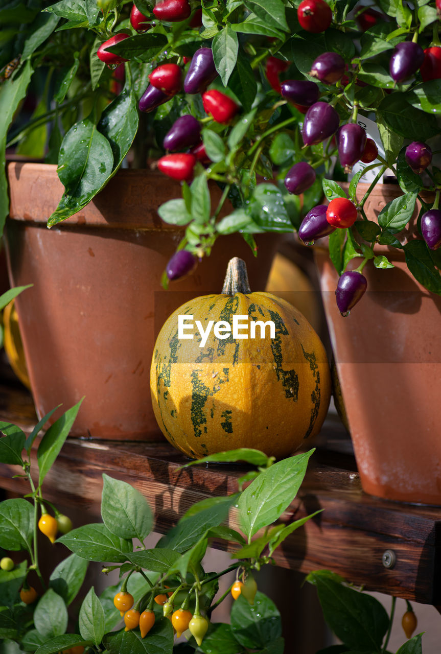 CLOSE-UP OF PUMPKIN GROWING ON PLANTS