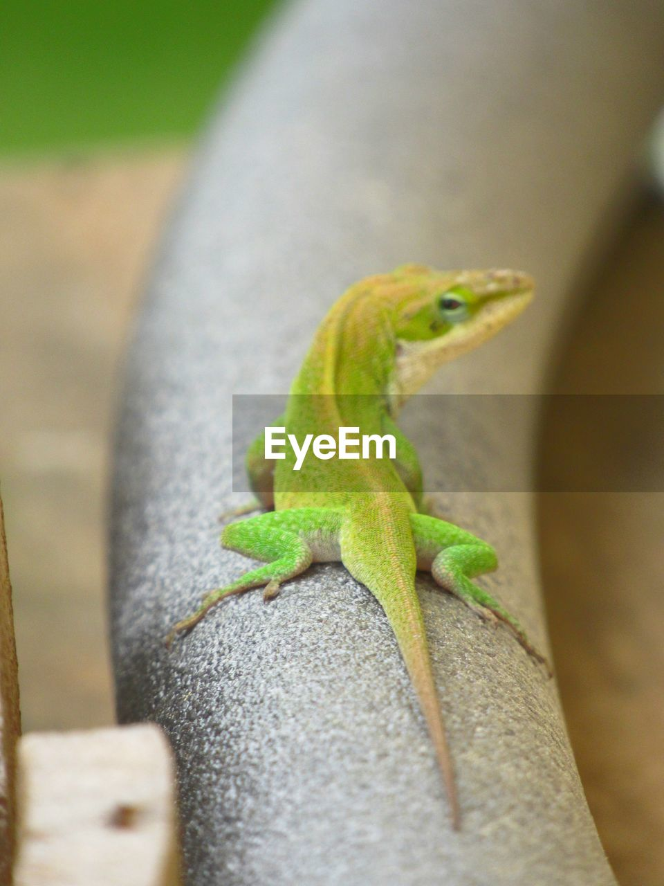 animal themes, animal, one animal, animal wildlife, animals in the wild, vertebrate, lizard, reptile, no people, green color, close-up, selective focus, day, nature, focus on foreground, outdoors, animal body part, animal scale