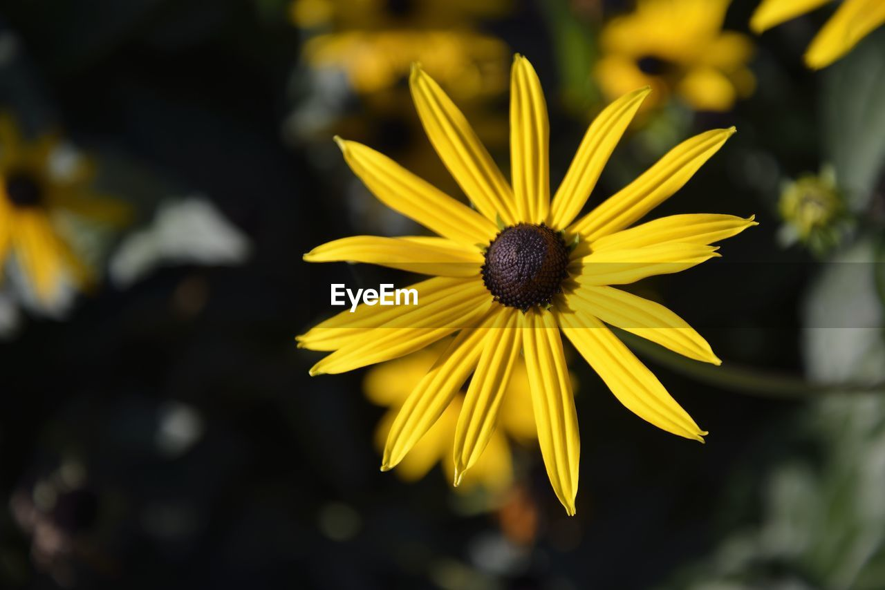flowering plant, flower, yellow, plant, petal, freshness, vulnerability, fragility, beauty in nature, growth, inflorescence, flower head, close-up, focus on foreground, pollen, nature, coneflower, day, selective focus, no people, outdoors, gazania