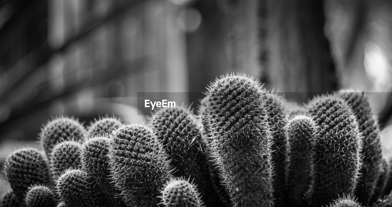 Close-Up Of Cacti Growing Outdoors
