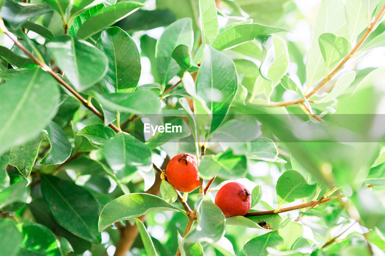 leaf, growth, red, plant, nature, fruit, green color, food and drink, no people, rose hip, tree, food, day, close-up, beauty in nature, outdoors, freshness, branch