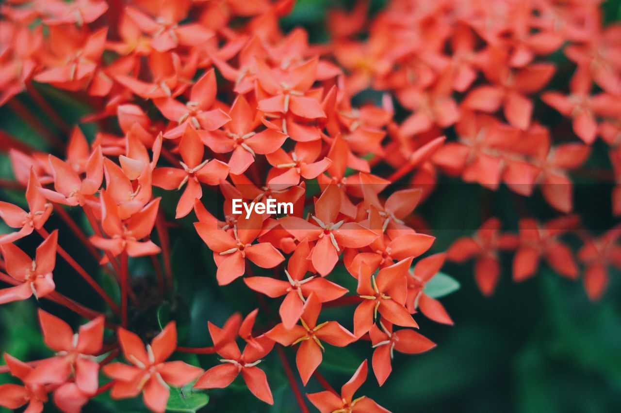 ixora, growth, beauty in nature, flower, freshness, fragility, nature, focus on foreground, red, day, outdoors, petal, plant, flower head, close-up, no people, blooming