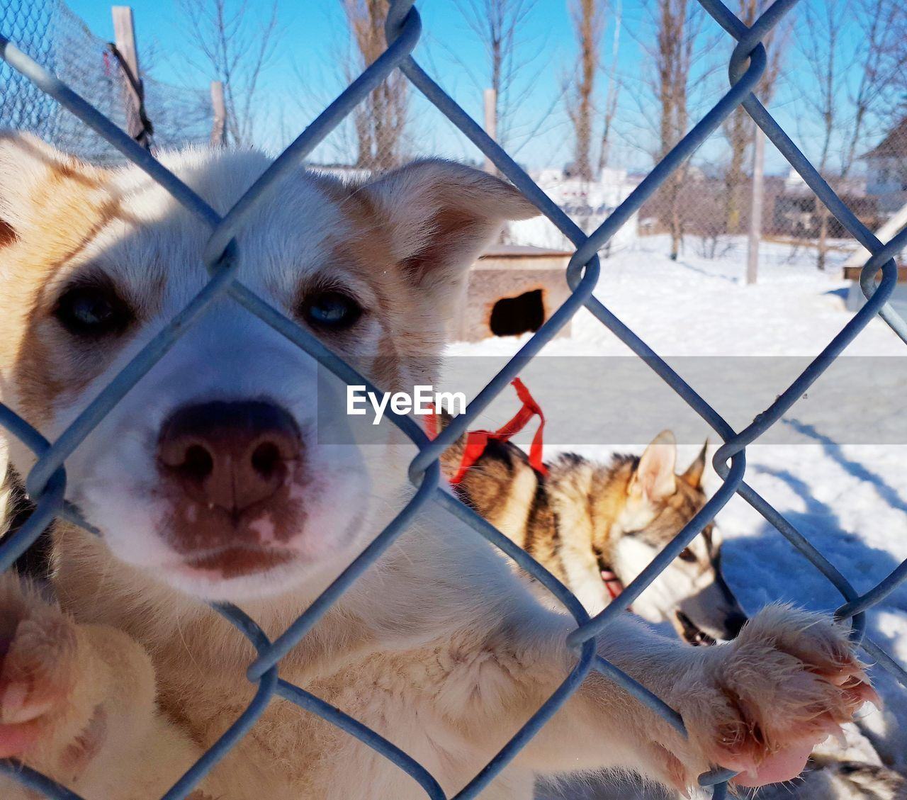 mammal, animal themes, domestic, domestic animals, pets, dog, canine, animal, one animal, vertebrate, fence, barrier, boundary, chainlink fence, day, close-up, no people, nature, sled dog