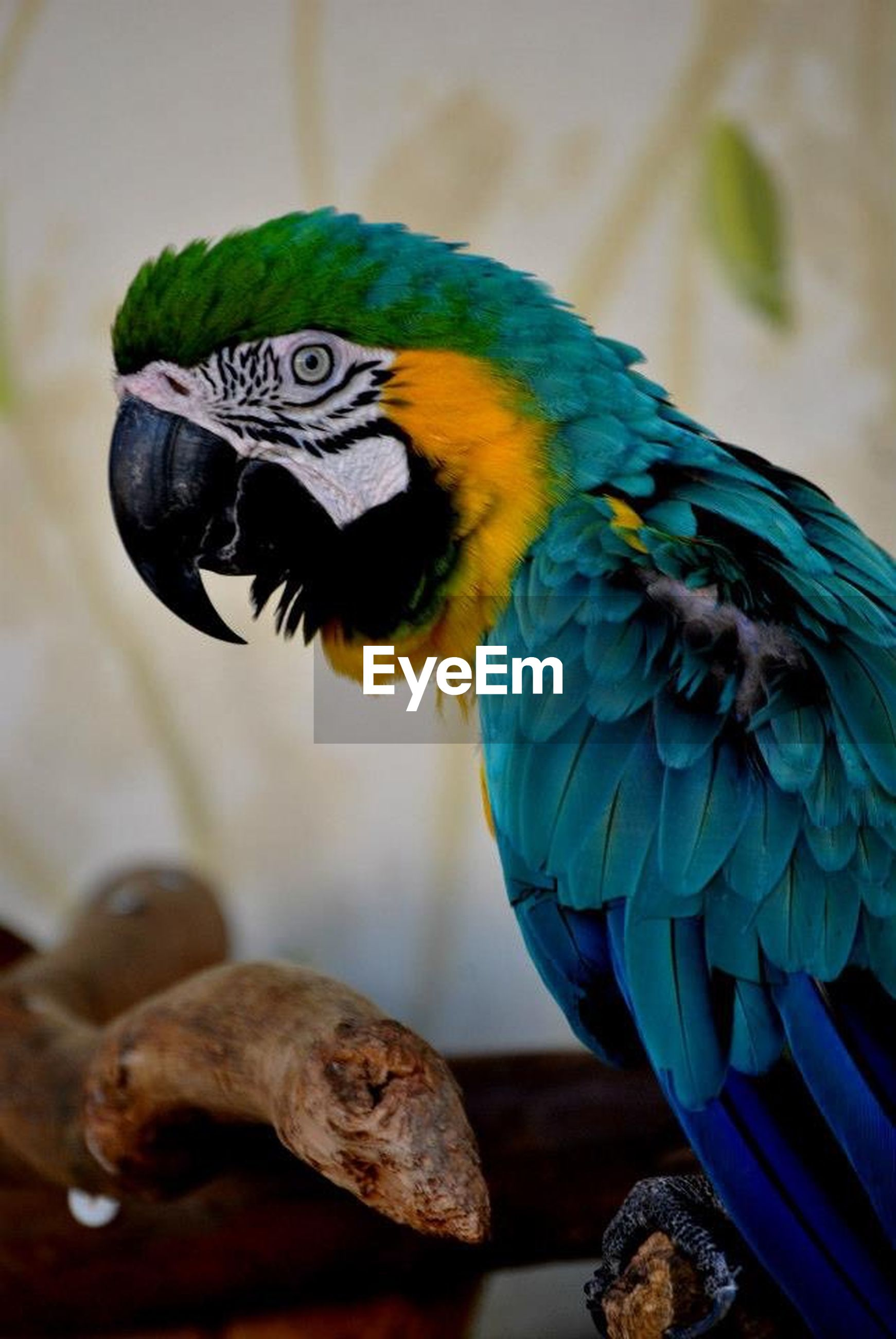 bird, animal themes, one animal, animals in the wild, focus on foreground, close-up, beak, parrot, wildlife, multi colored, perching, feather, blue, animal head, no people, nature, macaw, day, outdoors, selective focus