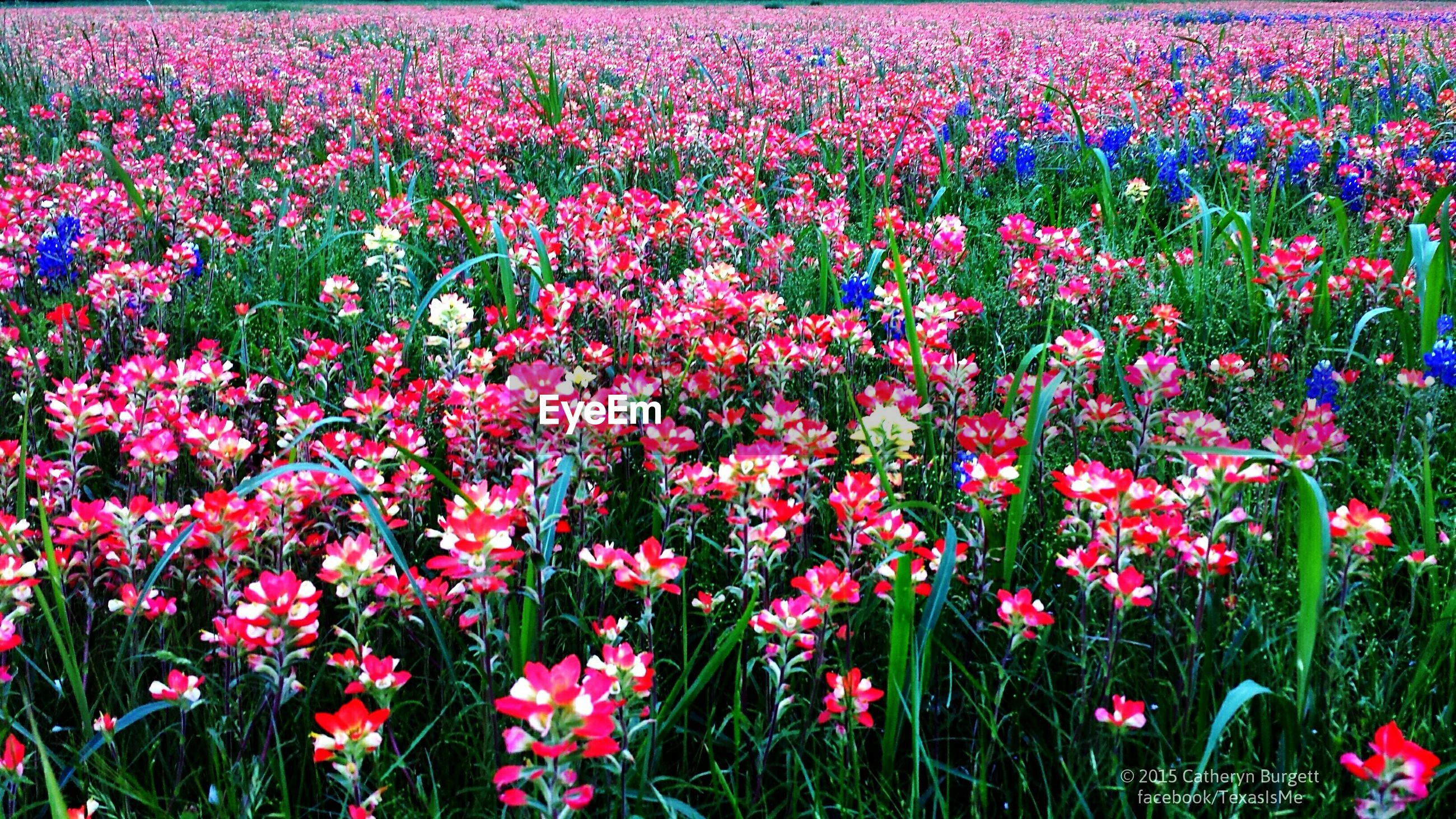 flower, freshness, growth, beauty in nature, fragility, plant, petal, field, blooming, nature, flower head, abundance, pink color, red, in bloom, high angle view, flowerbed, outdoors, day, full frame