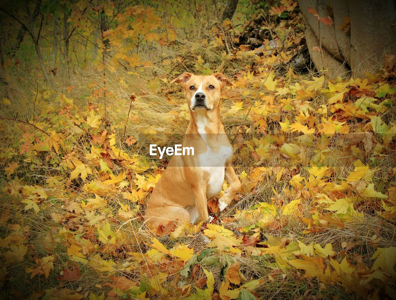 dog, autumn, pets, leaf, one animal, domestic animals, animal themes, mammal, nature, change, no people, outdoors, day, sitting, looking at camera, tree, portrait, beauty in nature