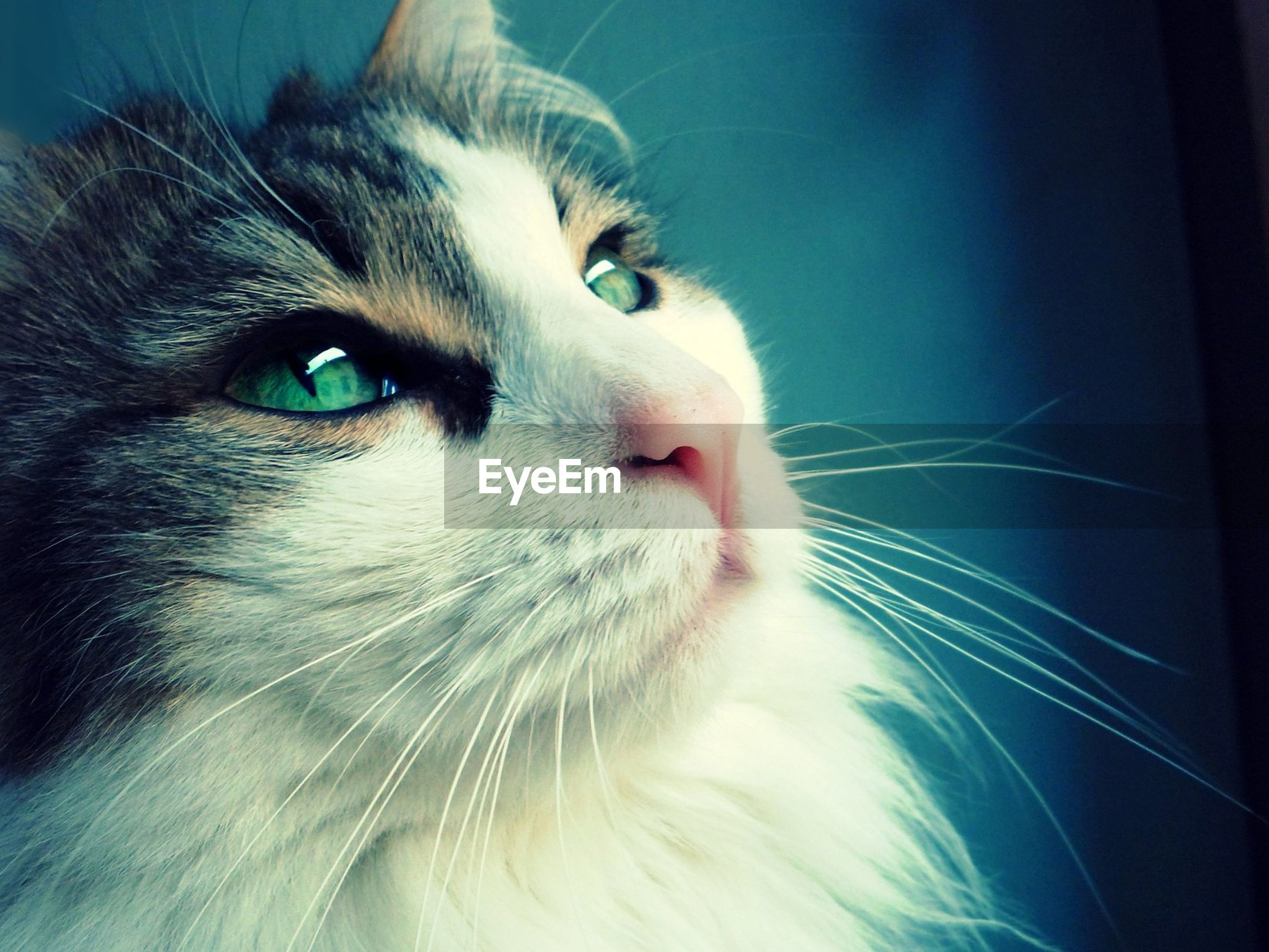 domestic cat, pets, domestic animals, one animal, feline, whisker, animal themes, mammal, close-up, no people, indoors, portrait, day