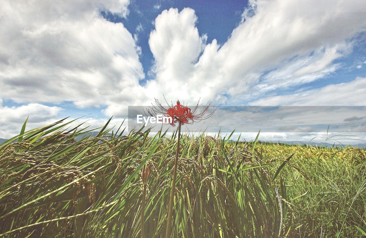 growth, field, nature, sky, flower, cloud - sky, beauty in nature, grass, plant, tranquility, day, outdoors, landscape, no people, green color, rural scene, scenics, fragility, flower head, freshness