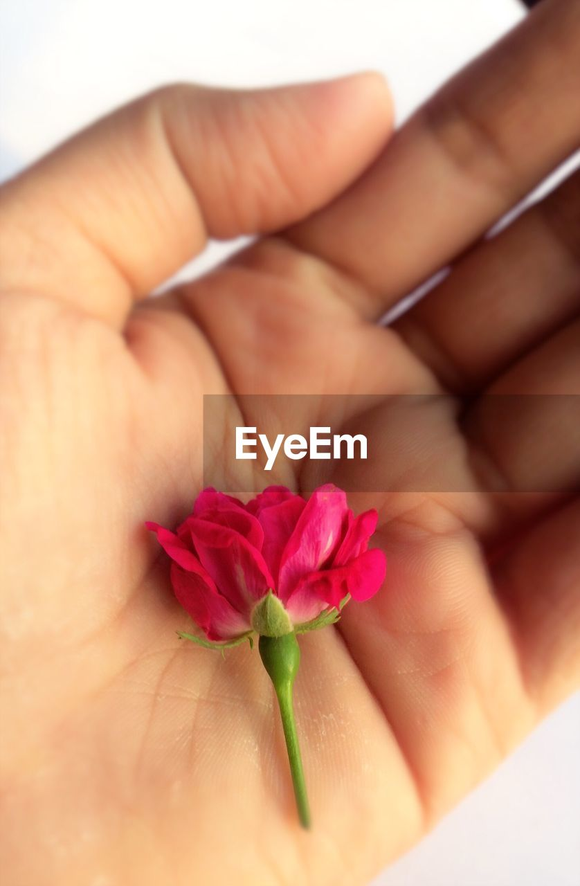 human hand, human body part, one person, flower, real people, close-up, holding, petal, fragility, women, indoors, beauty in nature, day, nature, freshness, flower head, people