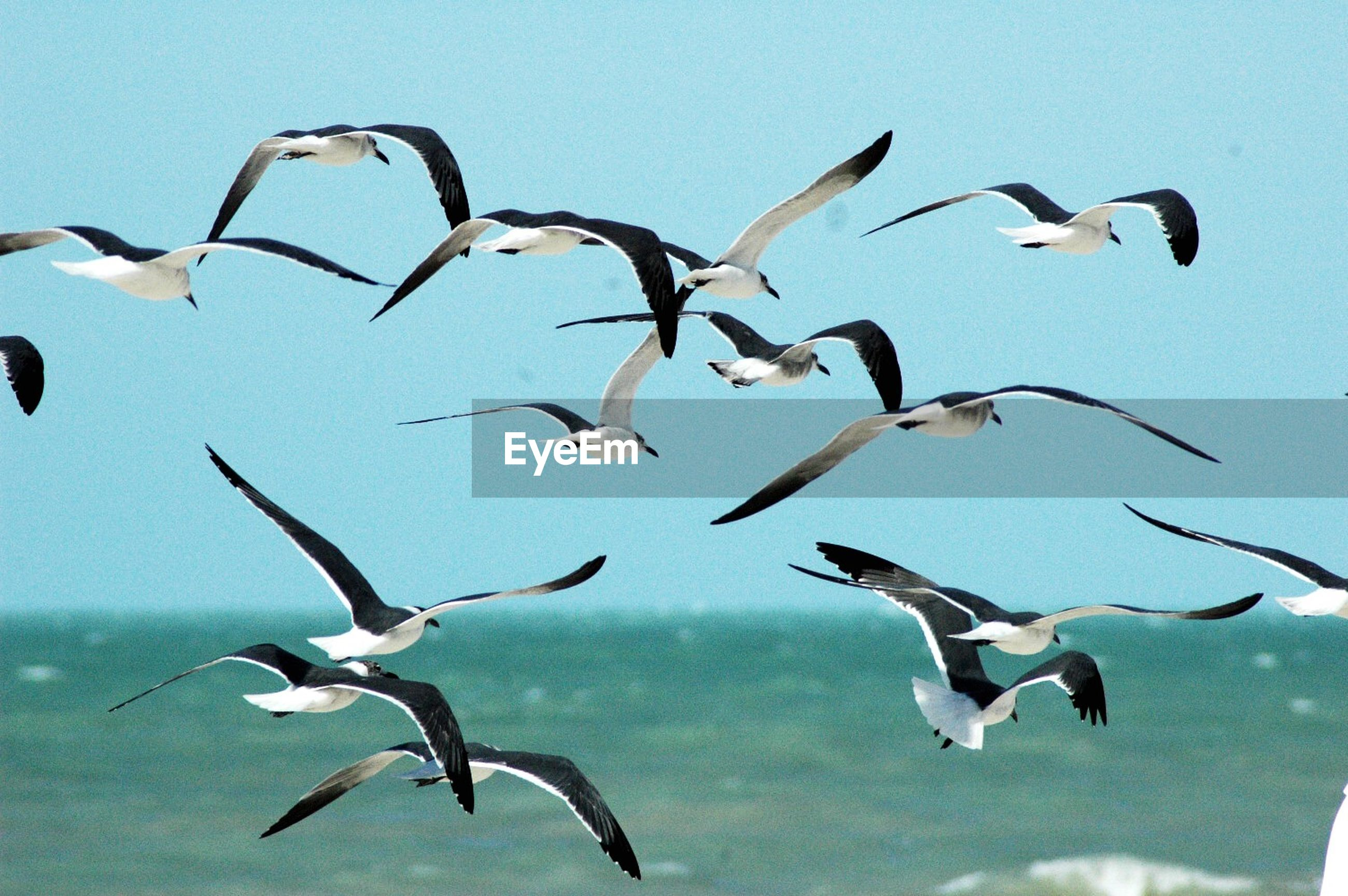 bird, animal themes, animals in the wild, wildlife, flying, flock of birds, spread wings, sky, seagull, low angle view, mid-air, medium group of animals, nature, day, clear sky, blue, outdoors, three animals
