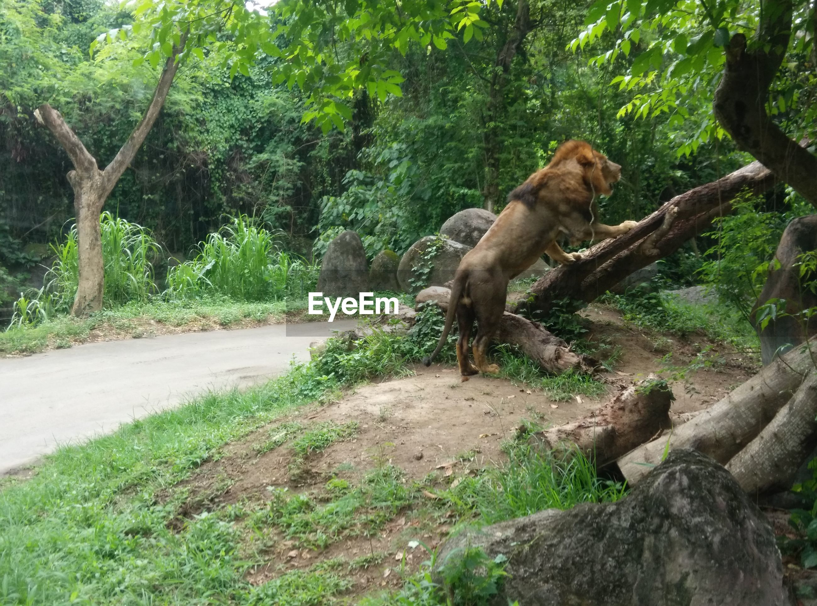Lion on standing on tree trunk at bali safari and marine park