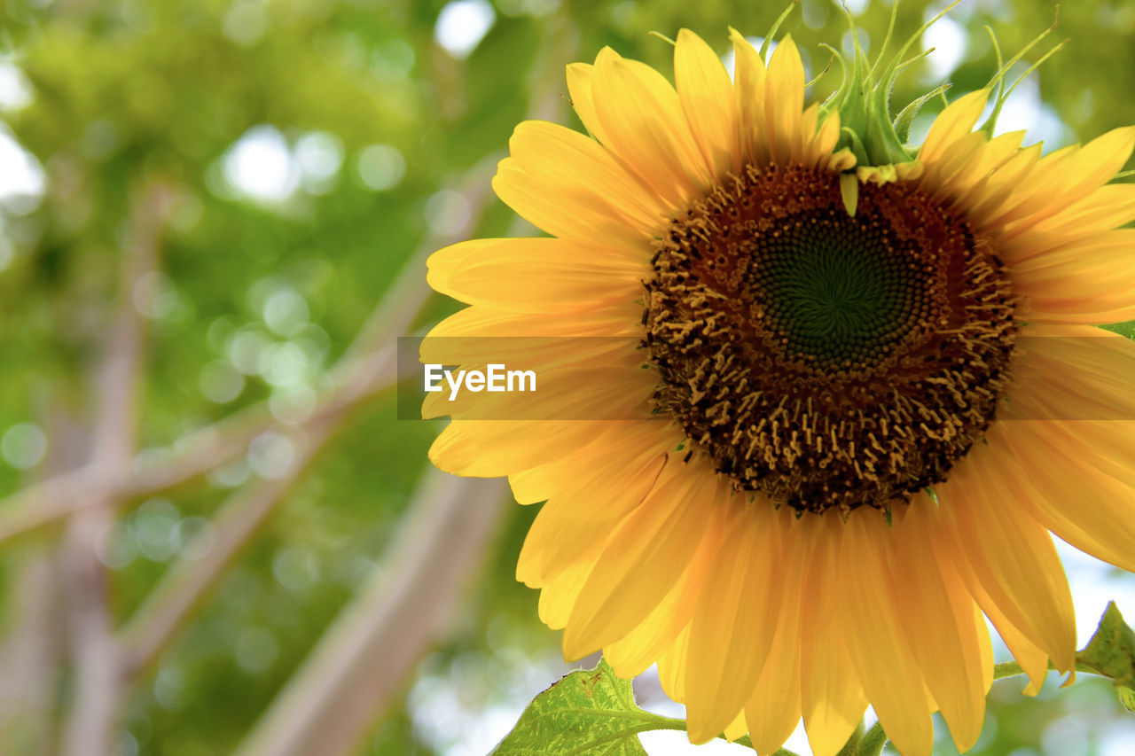 flower, petal, yellow, nature, beauty in nature, fragility, flower head, growth, freshness, plant, outdoors, day, pollen, blooming, close-up, no people, sunflower