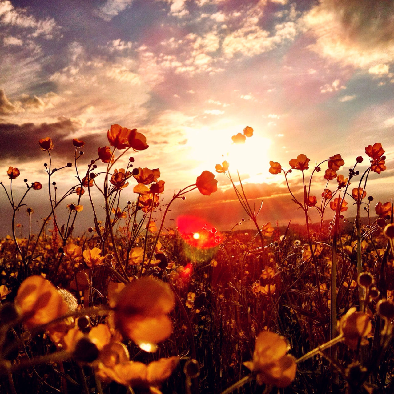 Scenic view of poppy field at sunset
