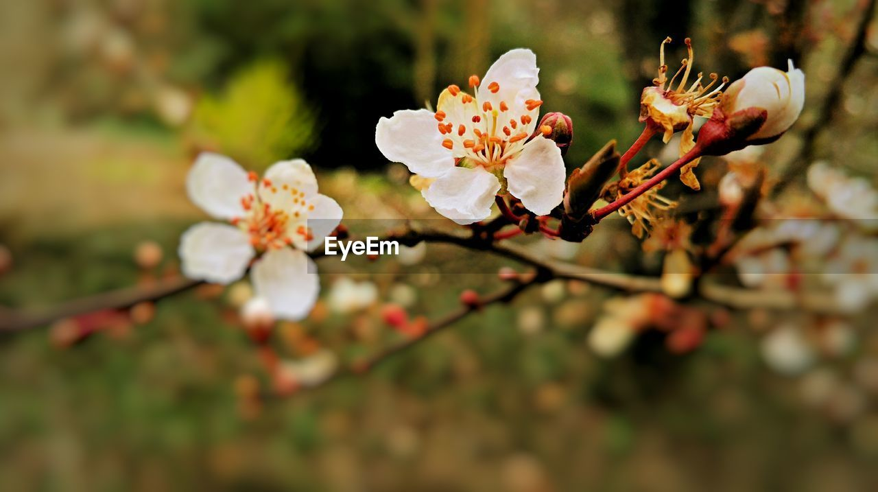 flower, fragility, beauty in nature, white color, nature, springtime, growth, petal, blossom, botany, freshness, twig, apple blossom, tree, flower head, day, selective focus, no people, outdoors, branch, stamen, plum blossom, close-up, blooming, plant