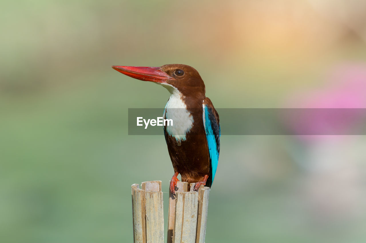 animal themes, animal, vertebrate, animal wildlife, bird, one animal, animals in the wild, focus on foreground, perching, close-up, wood - material, no people, kingfisher, day, nature, wooden post, post, outdoors, beak, beauty in nature