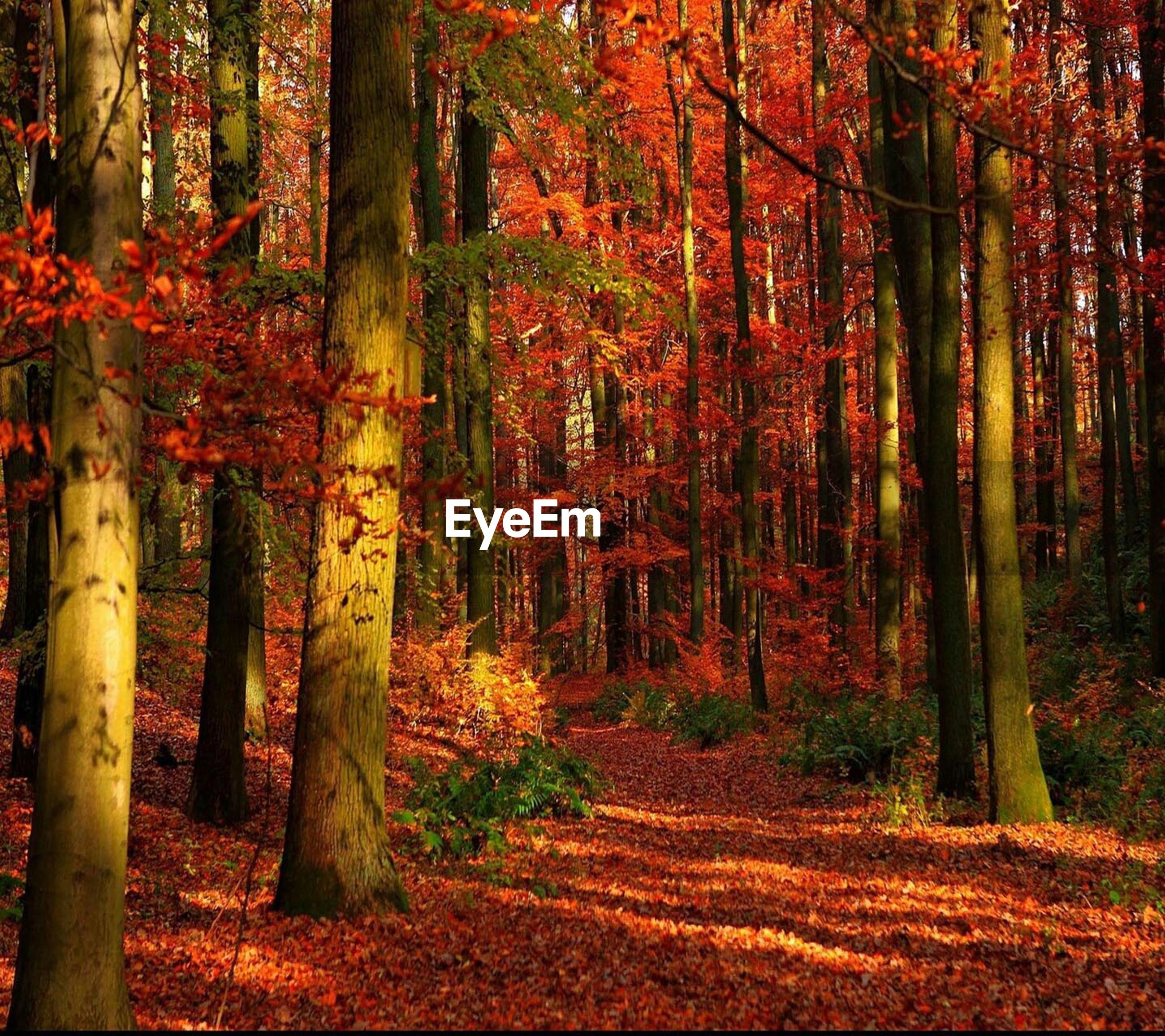 tree, tree trunk, autumn, forest, growth, woodland, tranquility, change, nature, orange color, beauty in nature, tranquil scene, season, red, branch, scenics, sunlight, outdoors, no people, landscape