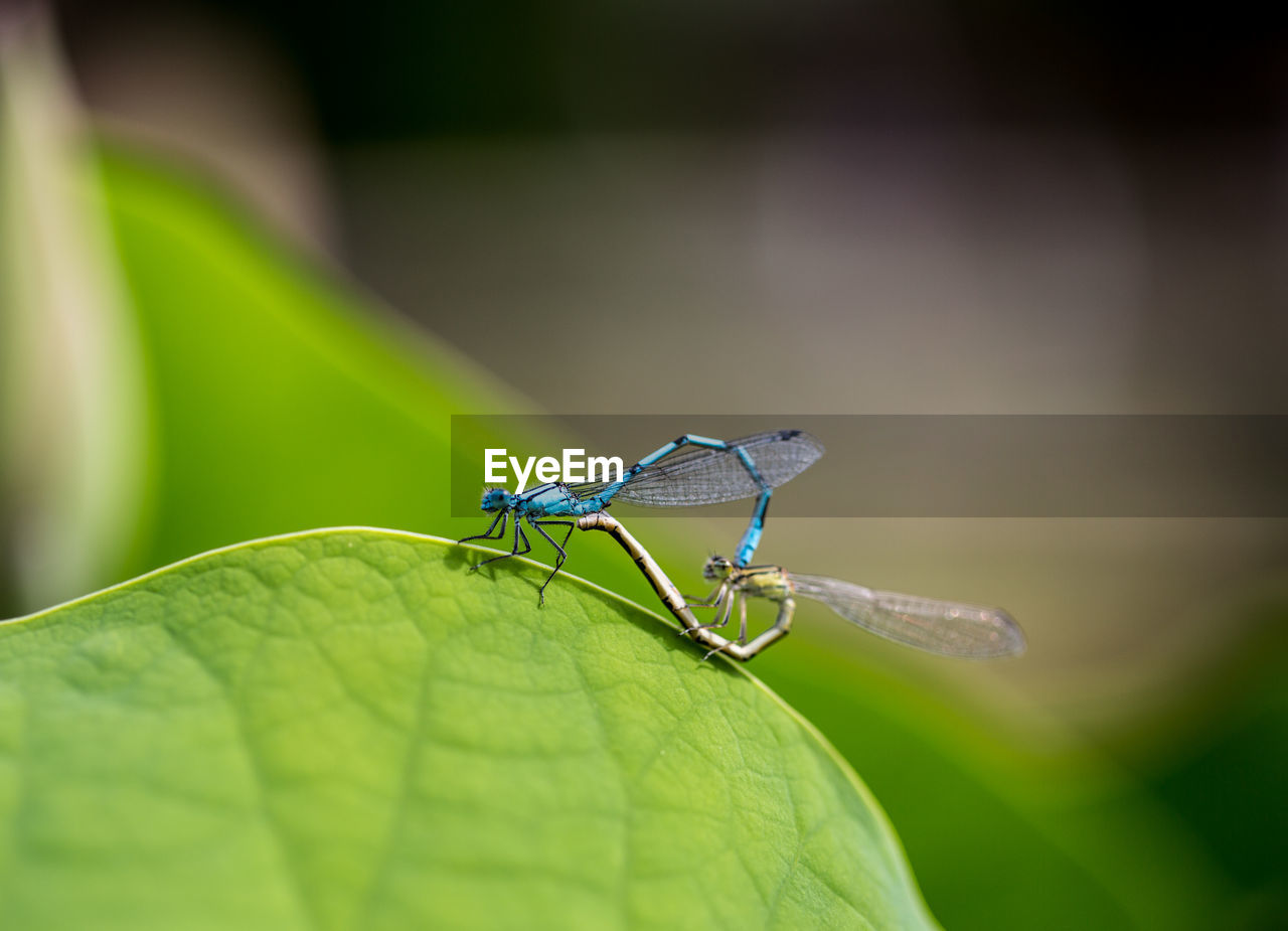 Close-up of damselfly on leaf