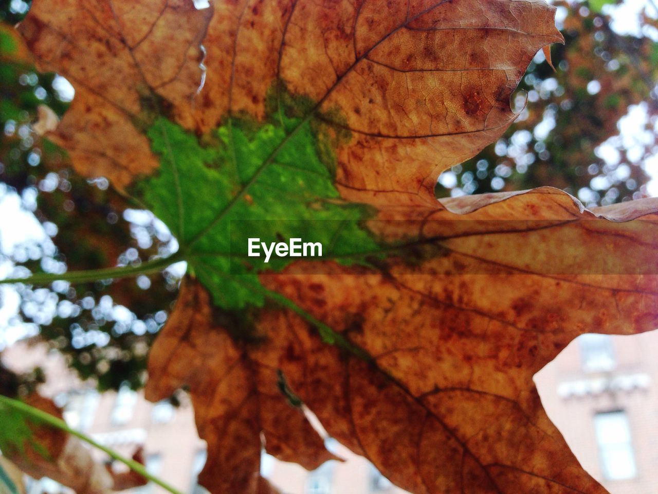 leaf, autumn, change, nature, leaves, maple leaf, outdoors, maple, day, beauty in nature, tree, growth, close-up, branch, no people, focus on foreground, low angle view, fragility