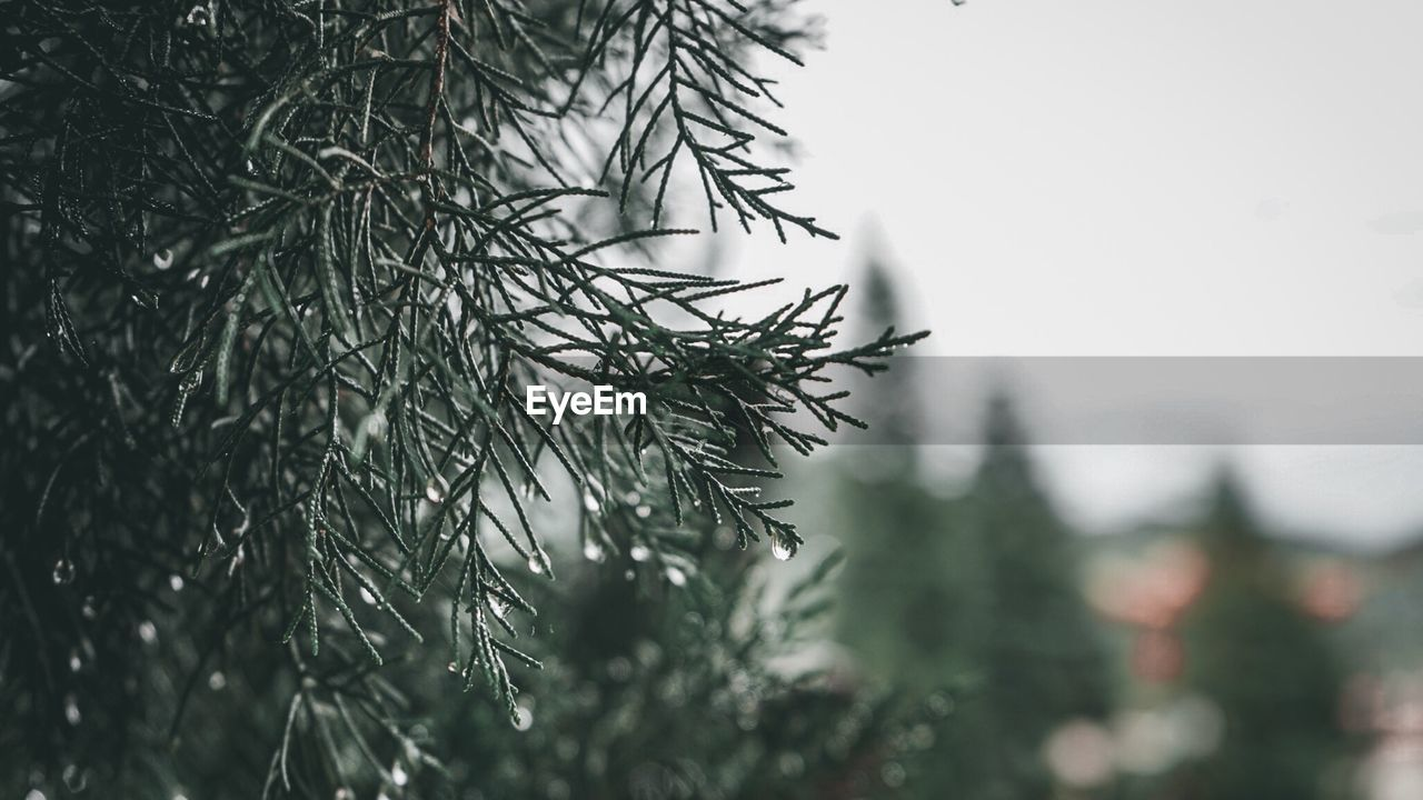 plant, tree, close-up, growth, no people, focus on foreground, selective focus, nature, day, branch, green color, beauty in nature, pine tree, coniferous tree, tranquility, drop, outdoors, needle - plant part, leaf, fir tree, rainy season, raindrop