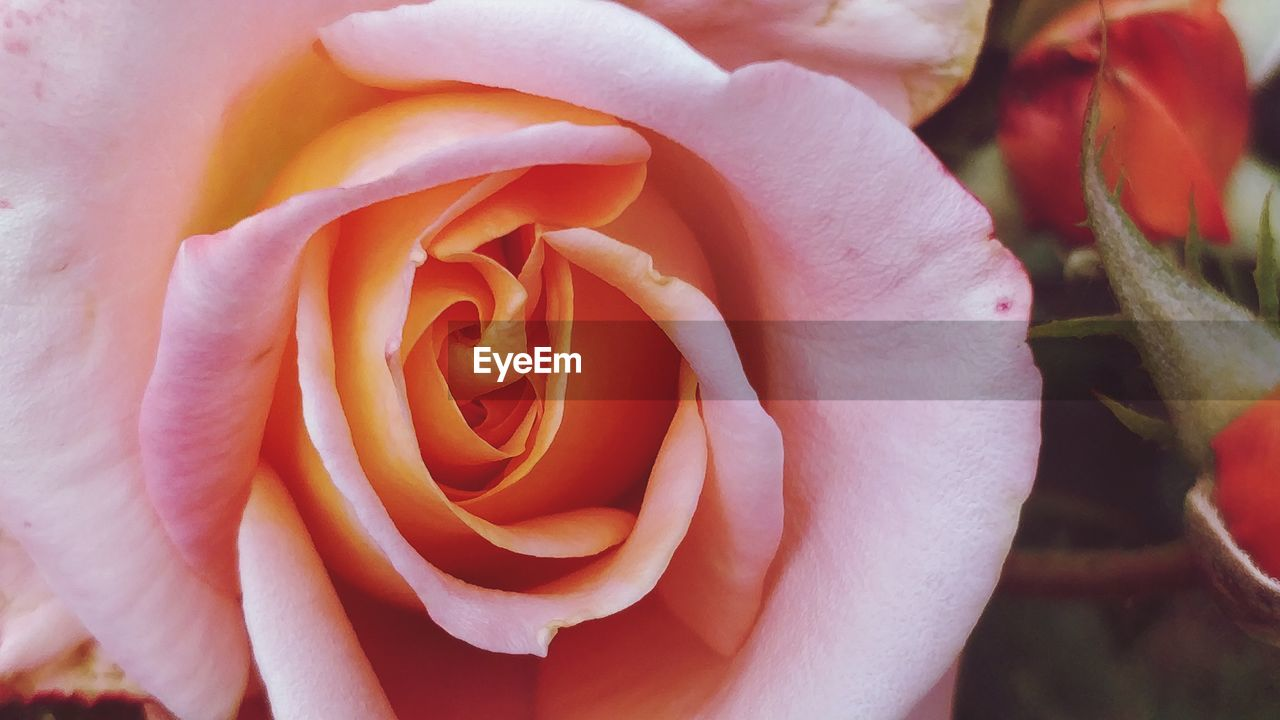 flower, flowering plant, plant, rose, beauty in nature, vulnerability, fragility, rose - flower, petal, close-up, inflorescence, flower head, freshness, nature, growth, no people, day, outdoors, softness