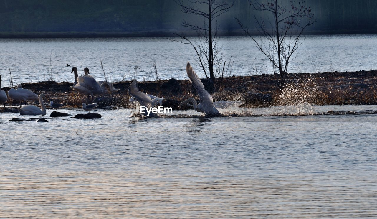 animals in the wild, animal themes, water, lake, nature, bird, animal wildlife, no people, outdoors, day, mammal, beauty in nature, spread wings, swan