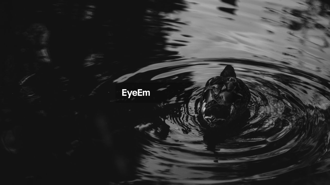 water, swimming, rippled, animal themes, waterfront, reflection, animals in the wild, nature, no people, motion, one animal, lake, high angle view, duck, animal wildlife, day, outdoors, floating in water, bird, beauty in nature, close-up