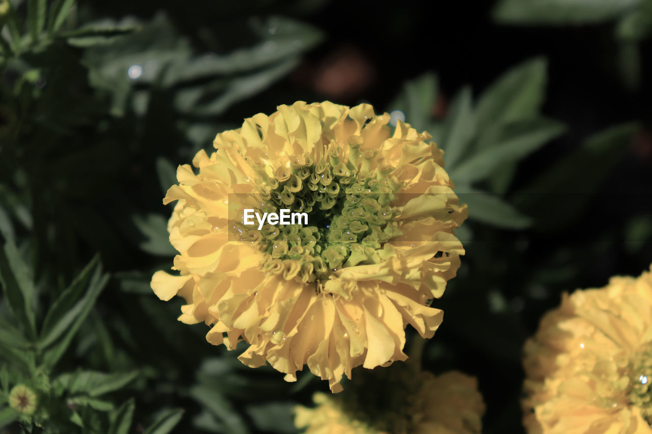 flower, flowering plant, plant, vulnerability, fragility, beauty in nature, petal, freshness, growth, flower head, inflorescence, close-up, yellow, nature, focus on foreground, no people, day, outdoors, pollen, white color