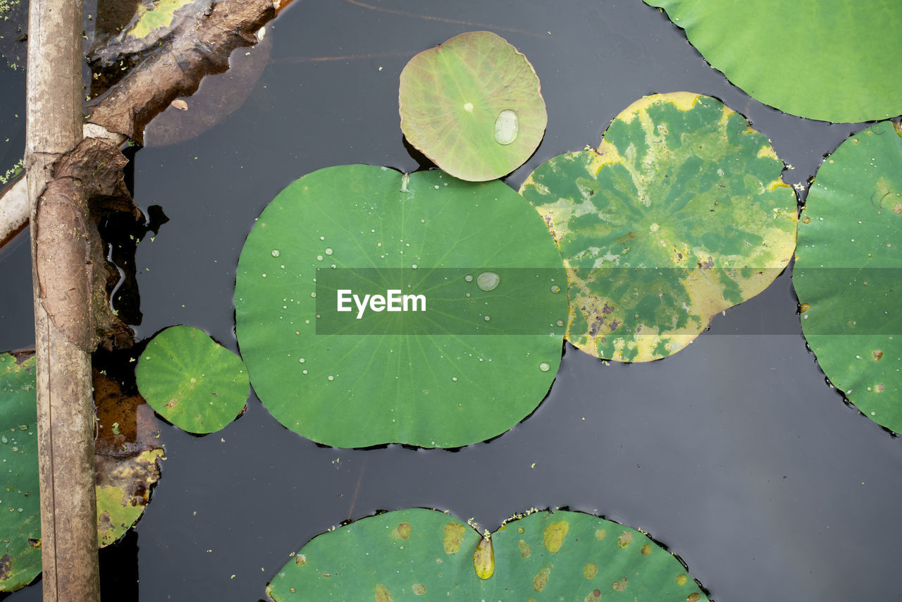 CLOSE-UP OF LOTUS WATER LILY LEAVES FLOATING ON LAKE