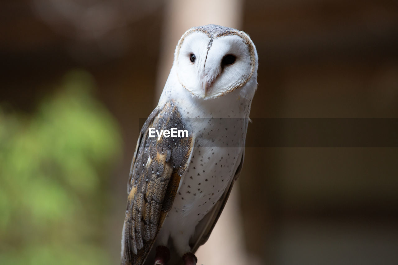 focus on foreground, animal, animal themes, one animal, vertebrate, animal wildlife, bird, close-up, animals in the wild, no people, owl, white color, bird of prey, day, representation, outdoors, mammal, nature, art and craft, selective focus