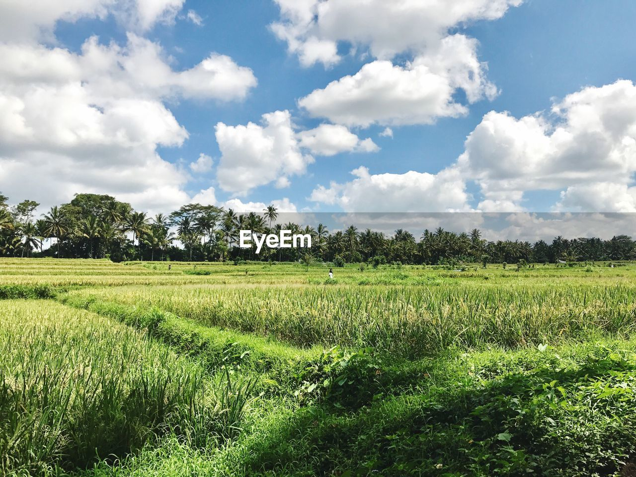agriculture, field, growth, nature, landscape, sky, green color, cloud - sky, tranquility, no people, rural scene, scenics, tranquil scene, crop, beauty in nature, day, tree, rice paddy, outdoors, grass