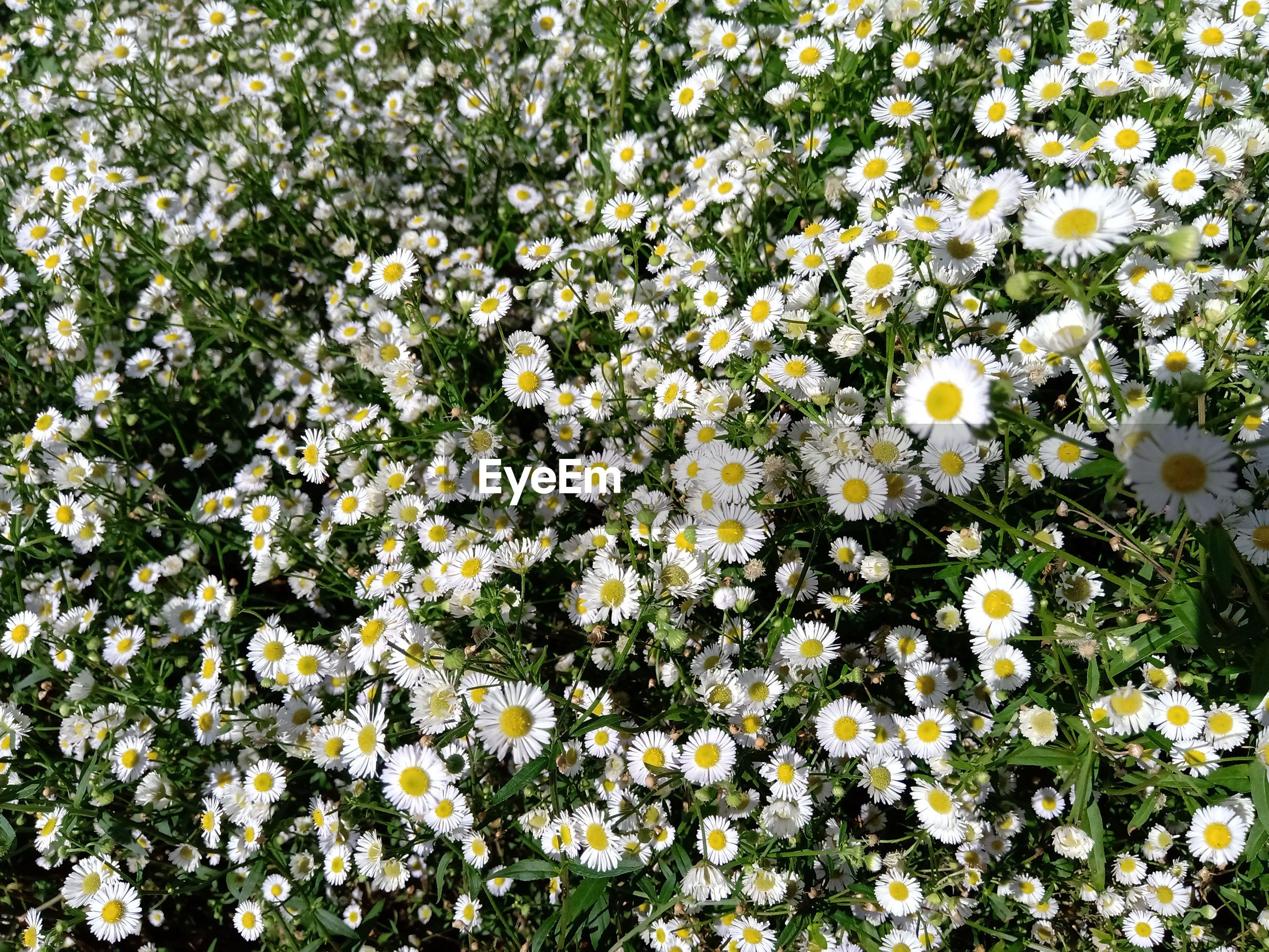 Close-up of white flowering plant in field